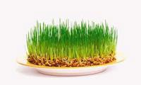 Как прорастить зерно для питания