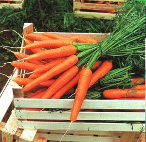Правила хранения моркови